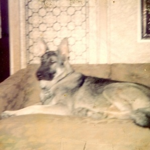 This huge German Shepherd was one of the sweetest doggies I ever loved.  He was 120 pounds, and VERY protective, but would play with kittens.  He was a lovely member of our household.