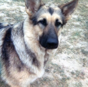 Onya was an 80 pound German Shepherd who was an angel... Always wanted to please, and please she did.  I still miss her.